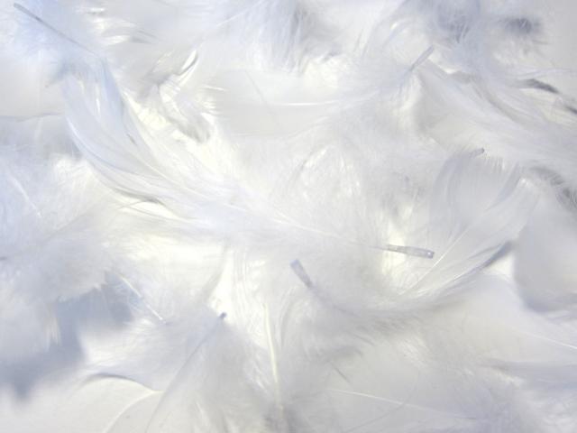 たくさんの羽毛