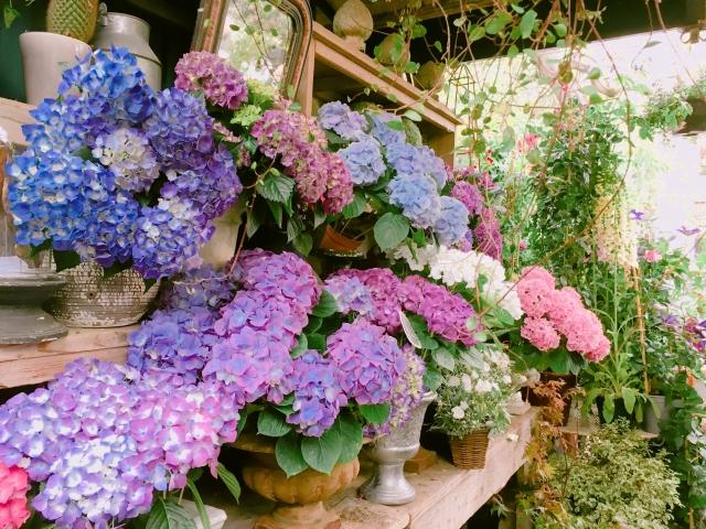 花屋さんの店頭に置かれた色とりどりの紫陽花