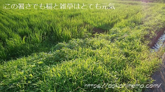 西日に照らされてキラキラ光る田んぼの風景